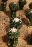 Desert plants Royalty Free Stock Image