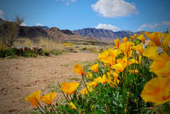 Desert Poppies Stock Image