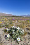 Desert Primrose and other wildflowers blooming in Anza-Borrego D Stock Image