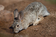 Desert rabbit drinking at pond. Adult Desert rabbit drinking at pond on Sonora desert Stock Photos