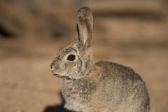 Desert rabbit portrait Royalty Free Stock Photography