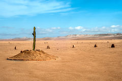 Desert region of Tacna, Peru. The only plant for many kilometers in the desert region of Tacna, Peru royalty free stock image