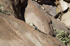 Desert reptile on Sandstone Stock Image