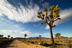 Desert Road with Joshua Trees in the Joshua Tree National Park Royalty Free Stock Images