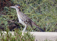 Desert roadrunner Stock Photos