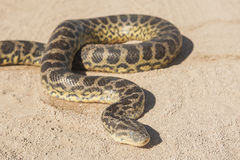 Desert rock python on sandy ground Royalty Free Stock Photography