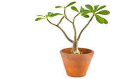 Desert rose. Or Ping Bignonia in flowerpot isolated on white background Royalty Free Stock Images