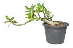 Desert rose. Adenium obesum in a flower pot isolated on white Stock Photos