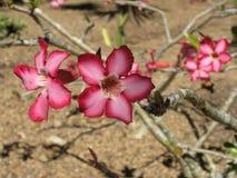 Desert Rose. In bloom Royalty Free Stock Images