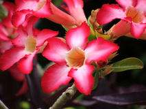 Desert Rose Royalty Free Stock Image