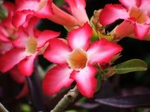 Desert Rose. In bloom at the botanical gardens Royalty Free Stock Image