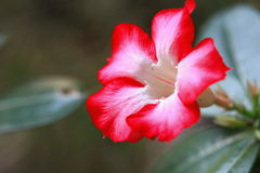 Desert rose Royalty Free Stock Images