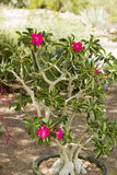 Desert Rose. Or Adenium, has colorful flowers and unusual thick caudice appearing as a thickened, short, perennial stem that may be swollen for the purpose of Stock Photo
