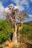 Desert rose - adenium obesum Stock Photography