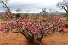 Desert  rose ( adenium obesum). This massive  Adenium was photographed  in the Kruger  National Park.  It is  a  succulent  plant Stock Images