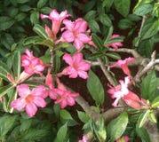 Desert Rose, Adenium obesum. stock photo