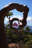 Desert Rose. (Adenium obesum), Socotra Island Stock Photography