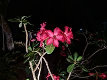 Desert rose or adenium obesum is a species of flowering plant in the dogbane family