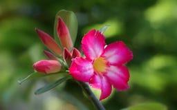 Desert Rose adopting a Lady-made oasis stock photos