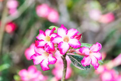 Desert rose, Azalea flowers Stock Photos