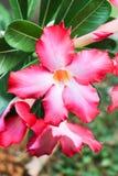 Desert rose 114. stock photography