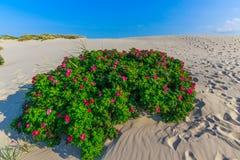 Desert rose. Beautiful red roses bush in the desert Royalty Free Stock Photo