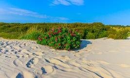 Desert rose. Beautiful red roses bush in the desert Stock Photos