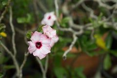 Desert Rose Stock Image