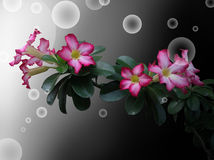 Desert Rose on black background and bubbles Stock Photos