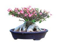Desert Rose bloming Royalty Free Stock Image