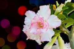 Desert rose on bokeh background Royalty Free Stock Image