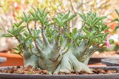 Desert Rose Bonsai, adenium in flower pot. Stock Photo
