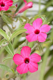 Desert Rose is a bright-colored flowers Stock Image