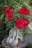 Desert rose Royalty Free Stock Photography