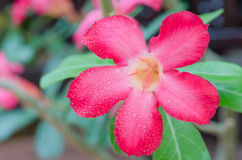 Desert Rose Stock Image