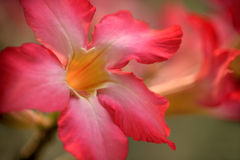 Desert rose2_11 Royalty Free Stock Images