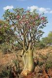 Desert-rose, Ethiopia, Africa Royalty Free Stock Images