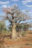 Desert-rose, Ethiopia, Africa Stock Image