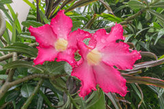 Desert rose,Floral background. Tropical flower Pink Adenium Royalty Free Stock Image