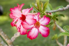Desert Rose flower. Closeup of a desert Rose flower Stock Image