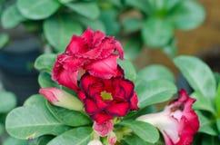 Desert rose flower Royalty Free Stock Image