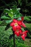 Desert rose flower Stock Image