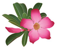 Desert Rose Flower. Bright exotic flower Desert Rose Flower Royalty Free Stock Photography