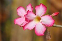 Desert rose flower Stock Photography
