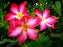 Desert Rose Flower Royalty Free Stock Photos