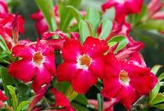 Desert Rose flower Royalty Free Stock Photography