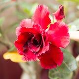 Desert rose flower. Floral , desert rose flower background Stock Image