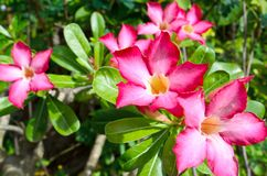 Desert rose flower Royalty Free Stock Photography