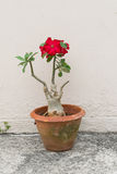 Desert Rose is a flower. flower Red Adenium with jardiniere Stock Photo