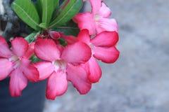 Desert rose flower in garden Royalty Free Stock Photography
